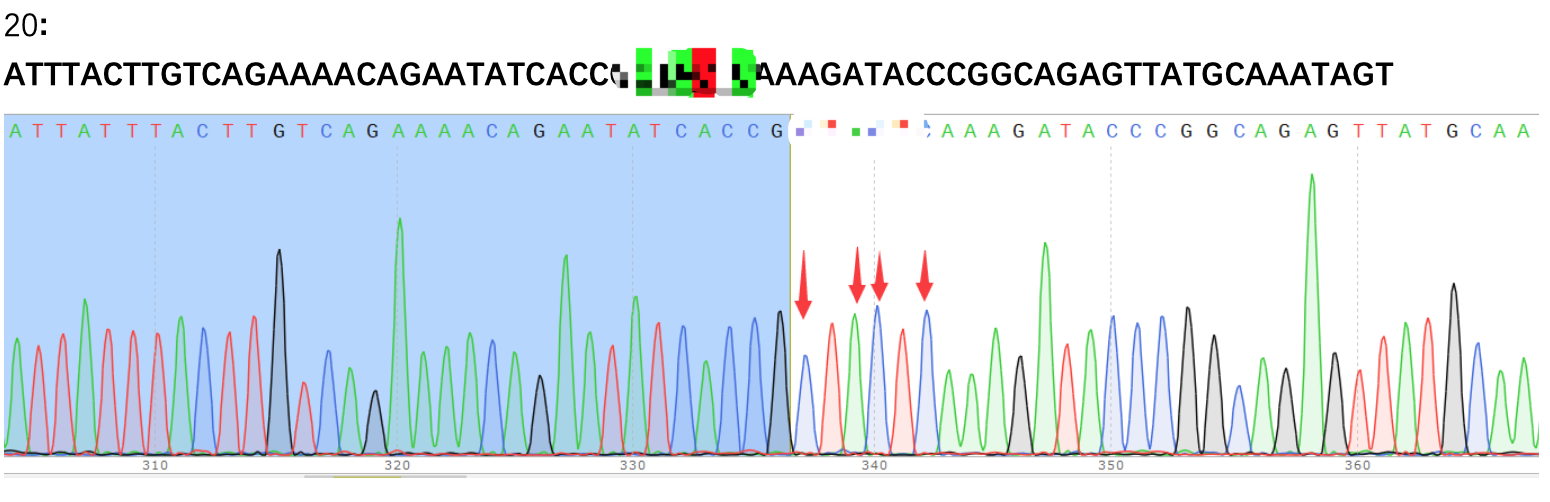 THP-1点突变纯合克隆